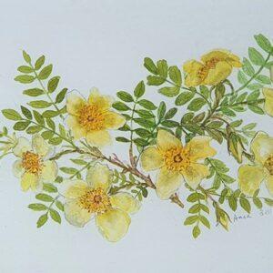 """""""Canary Bird"""" Roses"""