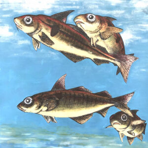 Spawning Haddock